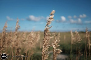 hatteras-sea-oats